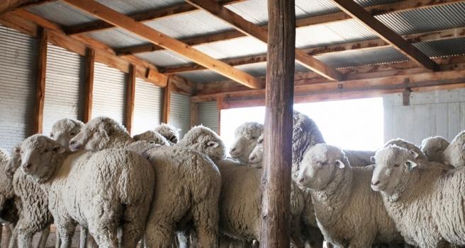 Targhee Sheep_Brooklyn Tweed